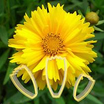 Calliopsis Çiçek Yapım Seti 3'lü